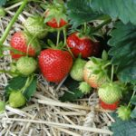strawberries-196798_1280